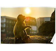 Monkey starring at the sun Poster