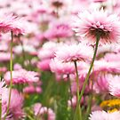 Paper petals - Pink everlastings. by Kell Jeater