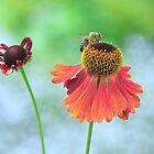 Echinacea paradoxa by Lifeware