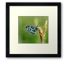 Marbled White Butterfly Framed Print