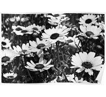 Black & White Daisies Poster