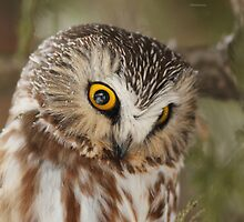 Northern Saw-whet Owl by MIRCEA COSTINA