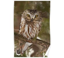 Northern Saw-whet Owl in winter Poster