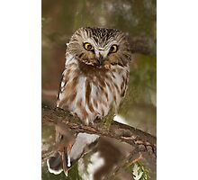 Northern Saw-whet Owl in winter Photographic Print