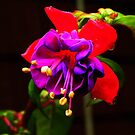 Pretty New Fuschia by MaryinMaine