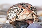 Portrait of an American Toad by April Koehler