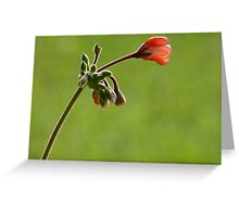 Geranium bud Greeting Card