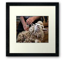 Sheep In The Headlights Framed Print