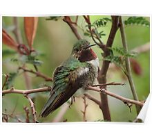 Broad-tailed Hummingbird (Male) Poster