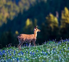 Black Tail Doe by Jim Stiles
