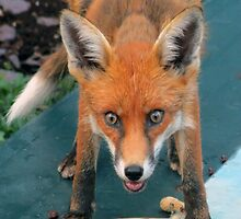 Birdie the Fox by Dawn B Davies-McIninch