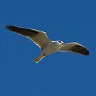 Black Shouldered Kite In flight by Kym Bradley
