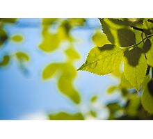 Green Leaves Against The Sky Photographic Print