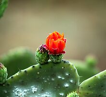 wild canarian cactus by Atman Victor