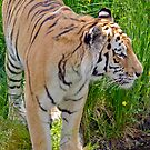 Amur Tiger by M.S. Photography/Art