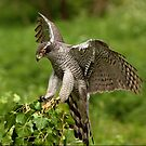 Goshawk by Norfolkimages