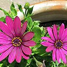 Two Vibrant Pink Cape Daisies by BlueMoonRose