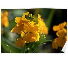 Antirrhinum (Snap Dragon) Flowers Poster