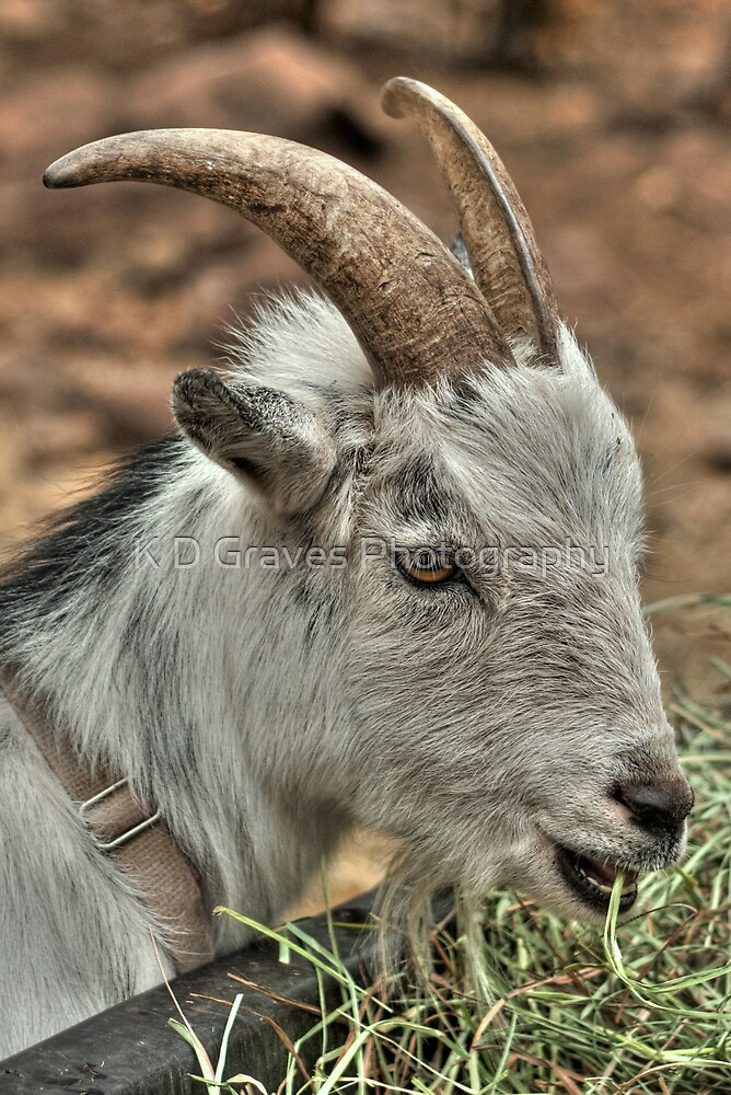 Billy Goat by K D Graves Photography