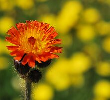 Orange Hawkweed (Hieracium) by Sheri Nye