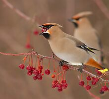 Bohemian Waxwings by MIRCEA COSTINA