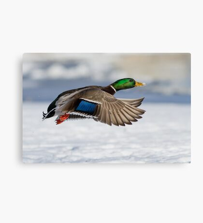 Drake in winter Canvas Print