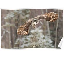 Hunting Great Grey Owl Poster