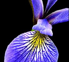 Blue Flag Iris by Jim  Hughes