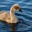Cygnet by Robyn Carter