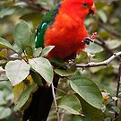 Mr. King Parrot by nigelphoto