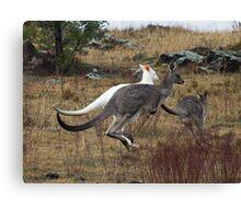 Wild  Albino Kangaroo Canberra Australia   RARE to see Canvas Print