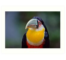 Red Breasted Toucan Art Print