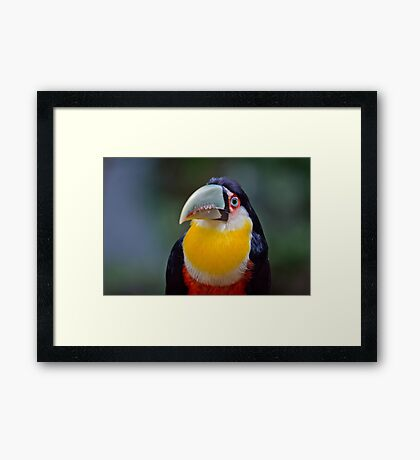 Red Breasted Toucan Framed Print