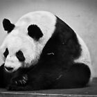 Tian Tian by Roger McNally