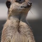 Meerkat by STEPHEN SHONE