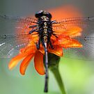 Through The Wings of a Dragonfly by T.J. Martin