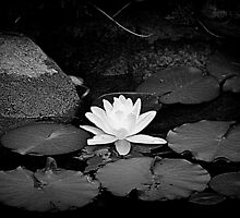 Water Lily by Debbie  Maglothin
