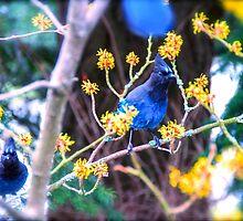 Blue Jays Watching by Satom M Chhim