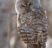 Barred Owl  by MIRCEA COSTINA