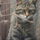 Scottish wildcat by weecoughimages