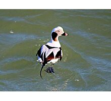 Long Tail Duck Photographic Print