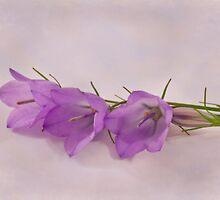 Three Wild Campanella Blossoms  by Sandra Foster