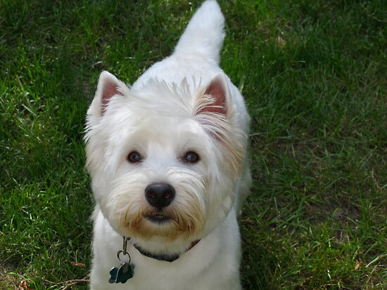 Westie whims by MarianBendeth