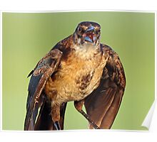 A Verbal Female Grackle Poster