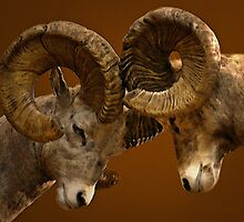 Rams Butting Heads by CarolM