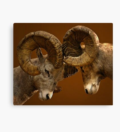 Rams Butting Heads Canvas Print
