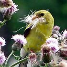Goldfinch with a mouth full of Thistle by sevenfeathers