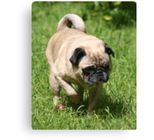 Pug On The Prowl Canvas Print