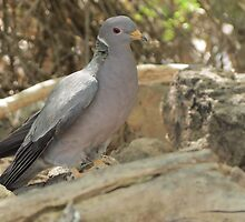 Band-tailed Pigeon by Kimberly Chadwick