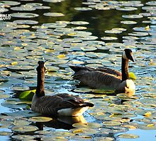 Pair of Canadian Geese  by Jalil al-Hamza